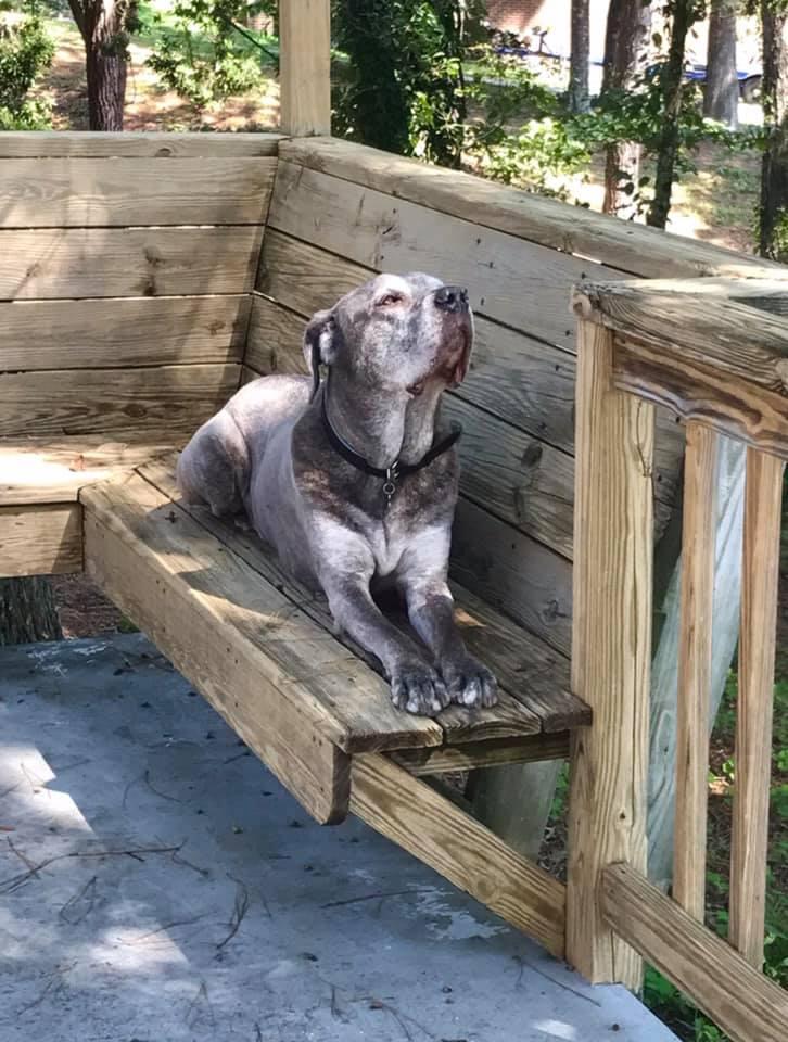 cane corso sunbathing on the deck