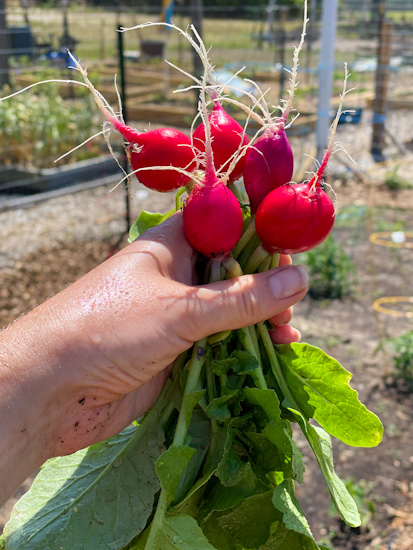 A bunch of fresh radishes, just picked from the garden